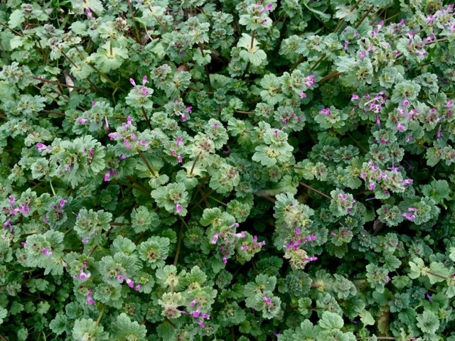 Weed Of The Month -- Henbit