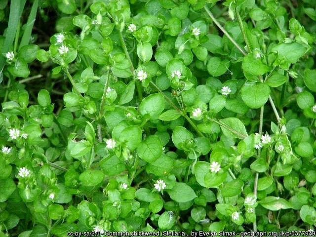 Weed of the Month -- Chickweed
