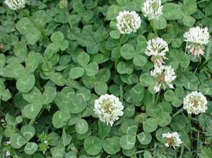 Weed of the Month -- Clover