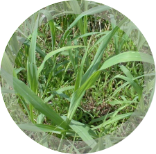 Johnsongrass