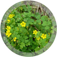 Oxalis(Yellow Wood Sorrel)